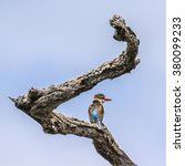 Small photo of Brown-hooded kingfisher in Kruger national park,South Africa ; Specie Halcyon albiventris family of Alcedinidae