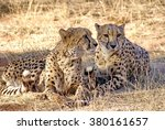 Two Cheetahs Lying Together In...