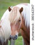 Постер, плакат: Icelandic horse The Icelandic