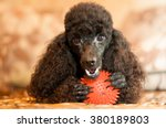 Black Poodle With Red Ball Is...