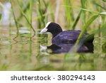 Black Duck  Green Background...