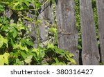 Blooming Climber Echinocystis...