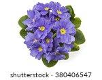Violet Spring Primroses Flower...