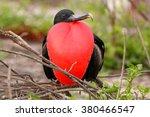Male Magnificent Frigatebird ...
