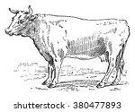 cow bretonne  vintage engraved... | Shutterstock .eps vector #380477893