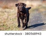 Labrador Dog Running Outdoors