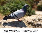 Grey Pigeon. Beautiful Pigeon...