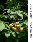 Small photo of Aesculus glabra (chestnut)