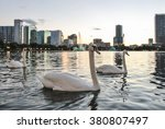 White Swans Swimming In Lake