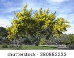 Big Mimosa's Tree Blooming  A...
