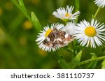 Small photo of Desmia moth sucking nectar on a wild Erigeron annuus flower