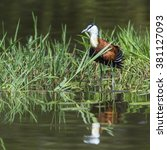 Small photo of African jacana in kruger national park, South Africa ; Specie Actophilornis africanus family of Jacanidae
