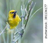 Spectacled Weaver In Kruger...