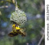 Small photo of Village weaver in kruger national park, South Africa ; Specie Ploceus cucullatus family of Ploceidae