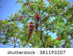 Two Scarlet Macaws  Ara Macao ...