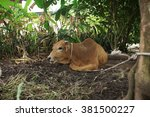 brown cow lying and tied on a... | Shutterstock . vector #381500227