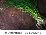 green onion stalks and roots on ...