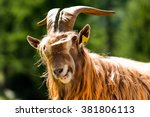 Brown And White Billy Goat Wit...