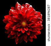 Small photo of Surreal wet dark chrome red flower dahlia macro isolated on black