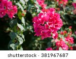 Red Bougainvillea On Evening...