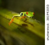 Small photo of The famous gaudy leaf frog (Agalychnis Callidryas) in Tortuguero National Park, Costa Rica.