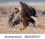 European White Tailed Eagle In...