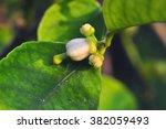 bud  of lemon   Shutterstock . vector #382059493
