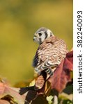 Small photo of American kestrel sitting on tree among colorful leaves, clean background, Czech Republic, Europe