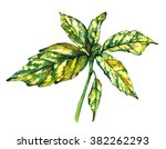 Branch Of Japanese Laurel With...