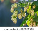 Flowers And Leaves Of Hops...