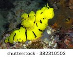 Small photo of Banana Nudibranch (Aegires minor) on a coral reef