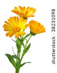 herbs  three calendula flowers... | Shutterstock . vector #38231098