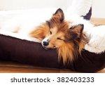 Shetland Sheepdog Sleep In Dog...