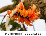flame of the forest butea...   Shutterstock . vector #382651513
