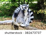 Ring Tailed Lemur Sitting In...