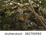 Mother Leopard With Two Cubs I...