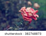 Withered Red Rose In A Green...