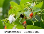 Bean Flower And Bumblebee