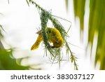 Spectacled Weaver  Ploceus...