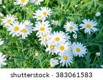 flowering. chamomile. blooming... | Shutterstock . vector #383061583