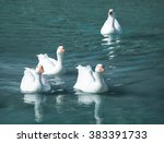 Four White Geese Swimming In...