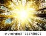 Pine Forest Trees. Nature Gree...