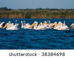 flock of american great white... | Shutterstock . vector #38384698