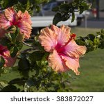 showy pink suffused with orange ... | Shutterstock . vector #383872027