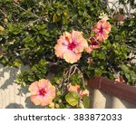 showy pink suffused with orange ... | Shutterstock . vector #383872033