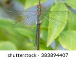 Dragonfly   Chalcolestes...