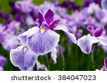 Purple Iris Flowers