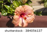 showy pink suffused with orange ... | Shutterstock . vector #384056137
