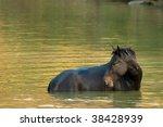 wild horse in water   Shutterstock . vector #38428939