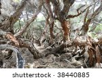 Unique trees with twisted bark - stock photo